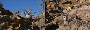 Pachipodium rosulatum. Il est fréquent dans le parc national de l'Isalo.