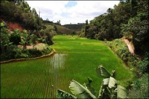 Rizière à Anjozorobe, au nord-Est de Tananarive, en bordure du couloir forestier.
