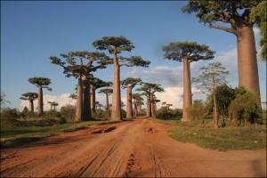 Image que l'on retrouve fréquemment dans les brochures touristiques, l'allée des baobabs  mérite le détour.