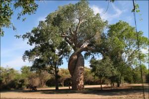 Curiosité de la nature, les baobabs amoureux constituent une attraction touristique très visitée.