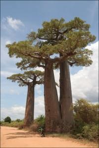 Originaire dAfrique, le baobab Andansonia au tronc massif dans la région de Morondava.