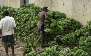 Des tonnes de bananes transites par an à