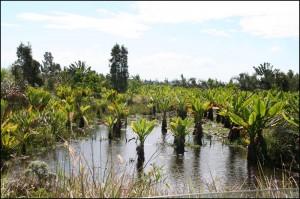 Les Oreilles d'éléphant pullullent dans ces petits étangs qui jalonnent la piste.