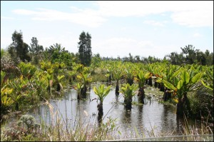 """Les """"Oreilles d'éléphant"""" sont omniprésentes tout le long du canal des Pangalanes."""