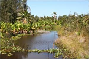 Peu à peu, la végétation type des régions marécageuse, jacinthes d'eau, oreilles d'éléphant, nénuphars, etc. envahi le canal rendant la navigation dificile.