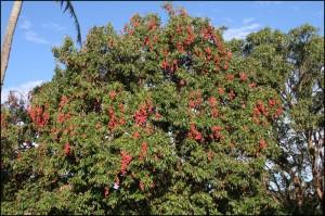 La région de Farafangana à Mananjary est grosse productrice de litchis qui doivent être transportés jusqu'à Tamatave pour l'exportation.