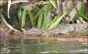 """Crocodile dans le canal des Pangalanes. Le """"crocodylus niloticus madagascariensis"""" est une sous espèce du crocodile du Nil qui vit dans presque tous les pays d'Afrique."""