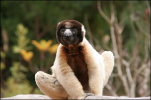 Propithèque de Verreaux. Plus de 10 espèces de lémuriens à découvrir au Palmarium.