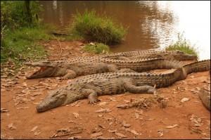 Dans la petite réserve privée du Vakona Lodge, la quarantaine de crocos sont heureusement biens parqués.