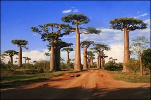 "La célèbre ""Allée des baobabs"" vers Morondava. Andansonia grandidieris."