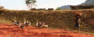 Les enfants ramènent leurs oies à la mais