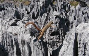 Eulemur Coronatus très à son aise dans les tsingy du parc de l'Ankarana.