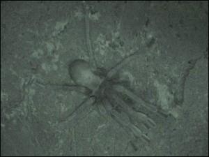 Mygale la nuit dans le parc de l'Ankarana.