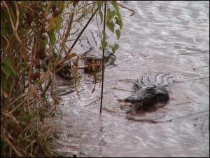 On retrouve ces crocodiles un peu partout sur Madagascar.