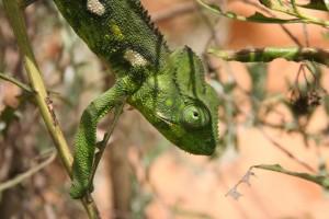 Une espèce de caméleon parmi les nombreuses présentes à Madagascar.