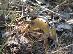 Les espèces de grenouille endémiques à Madagascar sont nombreuses. beaucoup sont menacées d'extinction.