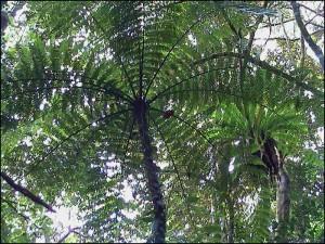 D'immenses fougères arborescentes sont présentes dans la forêt de la Montagne d'Ambre.