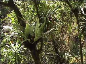 Une végétation luxuriante, palissandres, fougères, pandanus....