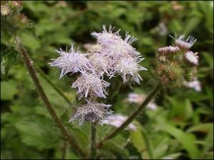 Fleur du parc de la Montagne d'Ambre.