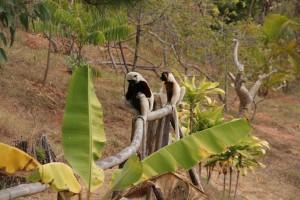 Les lémuriens vivent en liberté dans un espace qui leur convient parfaitement.