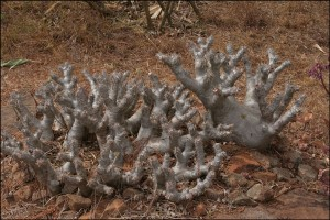 Lemurs' Park contient plus de 70 espèces de plantes différentes dont une quarantaine endémiques à Madagascar. Ici, un Pachipodium.
