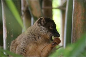 Eulemur Fulvus heureux en liberté dans le Lemurs'Park.