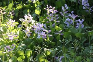 Jacinthe d 39 eau plante ornementale tongasoa madagascar for Plante ornementale