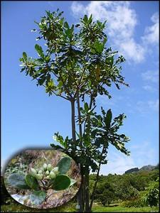 l'Anthocleista madagascariensis qui permet de traiter tant de maux est parait-il sous utilisé.