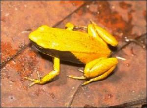La grenouille jaune ou orientale  Mantella crocea, elle aussi très menacée.
