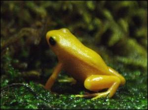 Espèce gravement menacée : la grenouille dorée  Mantella aurantiaca.