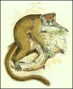 Le lémurien Hapalemur griseus ou Lémur gris classé vulnérable.
