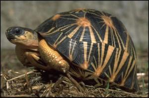 . Il y a encore une quinzaine d'année, la tortue radiée y vivait en grand nombre.