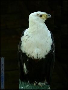 Haliaeetus vociferoides  (l'aigle pécheur de Madagascar), une espèce endémique en danger critique.
