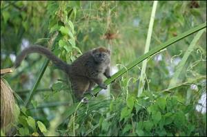 Le « Bandro », un type de lémurien  qui vit exclusivement sur le bord du Lac Alaotra.