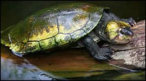 Erymnochelys madagascariensis, une tortue inscrite sur la Liste rouge de l'UICN.