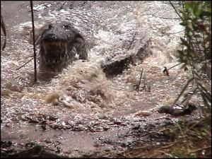 Un croco qui vient de saisir sa proie tournoie dans l'eau pour la noyer, la déchiqueter et l'avaler.