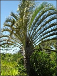 Le palmier triedre endémique de cette région du grand sud est unique au monde.