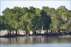 Madagascar forêts. Mangrove sur la côte Ouest de Madagascar. Flore malgache.