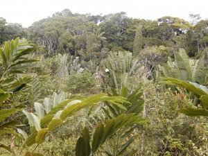 Forêts sempervirentes. Forêt de la côte Est de Madagascar.