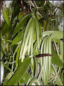 Le fruit du vanillier passe du vert au jaune lorsqu'il s'approche de sa maturité
