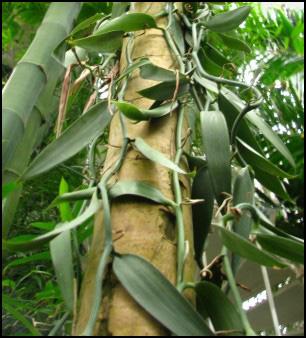 La vanille la plante tongasoa madagascar for Plante 150 maladies madagascar