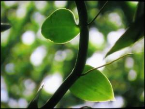 - La vanille pompona est présente principalement en Amérique tropicale, aux Antilles (Martinique, Guadeloupe), au Brésil et en Guyane.