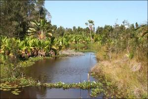 La jacinthe d'eau est présente dans presque toutes les étendues d'eau douce, des rivières et des lacs de pratiquement toutes les régions tropicales.