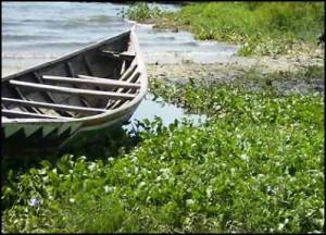 La jacinthe d'eau est également l'ennemi numéro un des transporteurs fluviaux dont elle bloque les voies d'eau navigables ainsi que les ports.