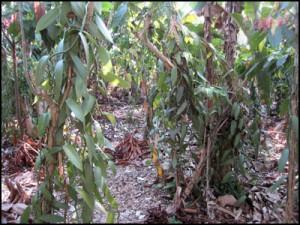 Vanille : Le bouturage est réalisé à la fin de la saison sèche, juin-juillet, ce qui permet un bon enracinement.