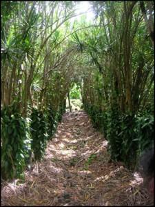 Vanille : L'ombrage doit être suffisant pour empêcher le rayonnement direct du soleil sur les feuilles.