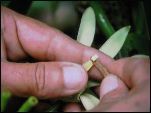 La fécondation des fleurs de vanille se fait à la main partout dans le monde, même dans son pays d'origine, au Mexique.