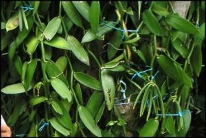 Les gousses de vanille, fruit du vanillier sont cueillis lorsqu'elles sont encore vertes et inodores.