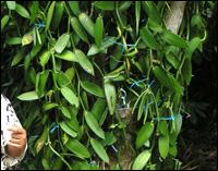 La vanille de Madagascar appellation Bourbon est issue de la variété planifolia, implantée dans les anciennes colonies de l'océan Indien.