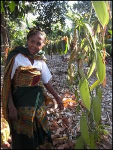 Vanlle de Madagascar.  Le passage dans les vanilleraies est quotidien pendant deux à trois mois.